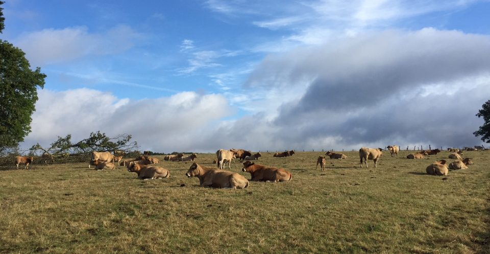 vaches-1